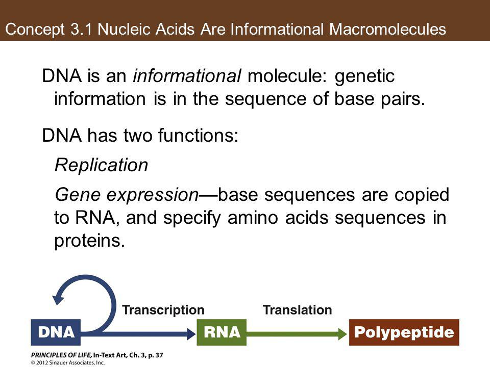 Concept 3.1 Nucleic Acids Are Informational Macromolecules DNA is an informational molecule: genetic information is in the sequence of base pairs. DNA