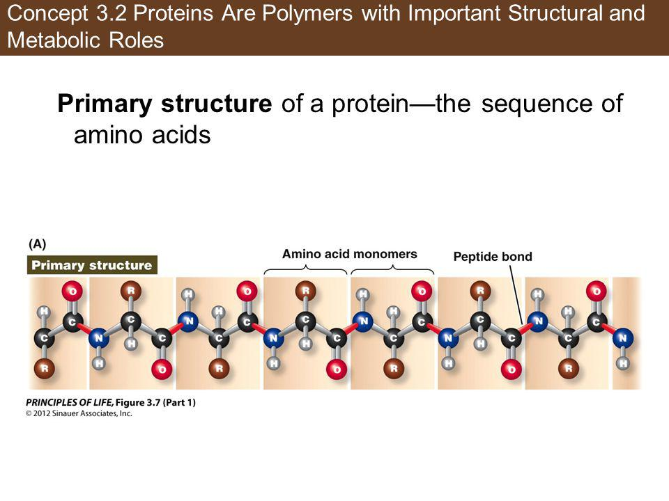 Concept 3.2 Proteins Are Polymers with Important Structural and Metabolic Roles Primary structure of a proteinthe sequence of amino acids