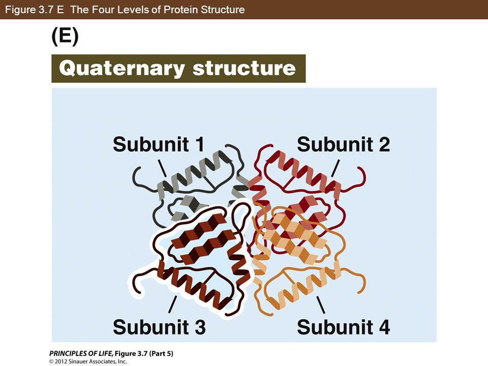 Figure 3.7 E The Four Levels of Protein Structure