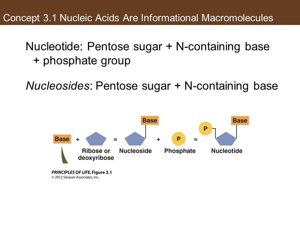 Concept 3.1 Nucleic Acids Are Informational Macromolecules Nucleotide: Pentose sugar + N-containing base + phosphate group Nucleosides: Pentose sugar