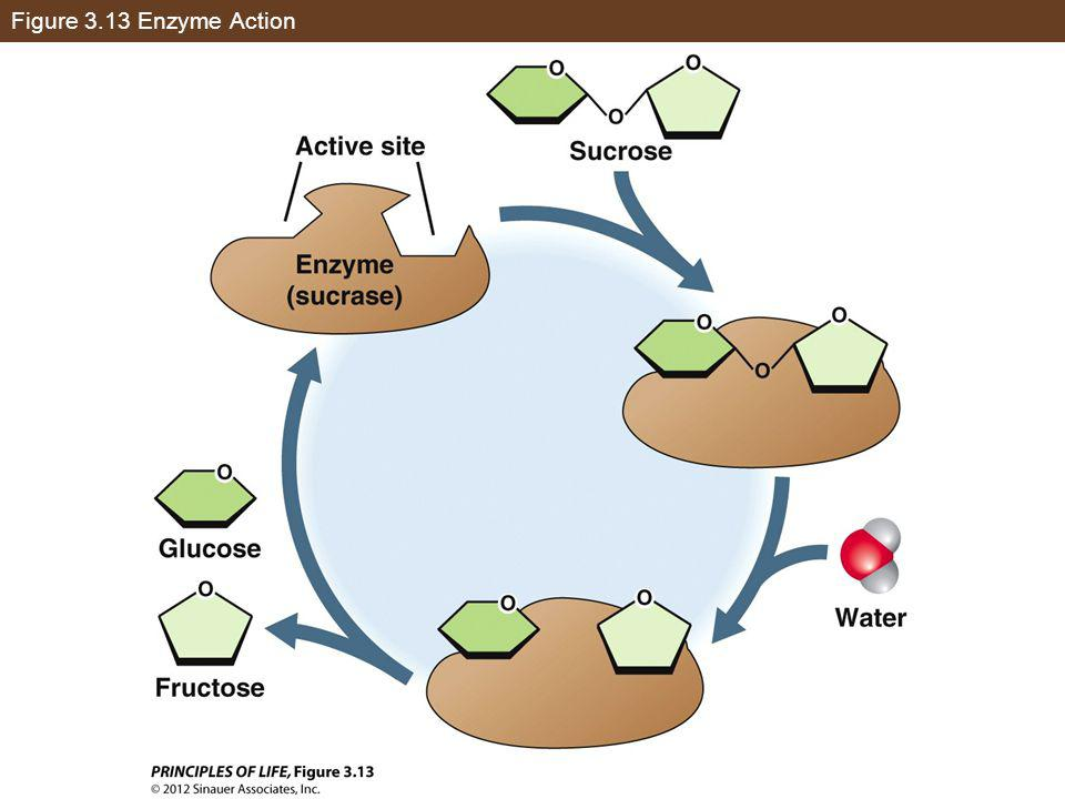 Figure 3.13 Enzyme Action