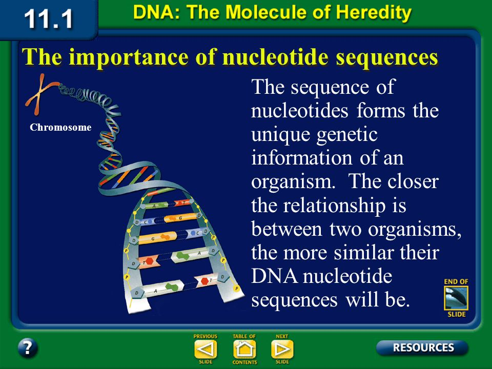 Section 11.1 Summary – pages 281 - 287 In 1953, Watson and Crick proposed that DNA is made of two chains of nucleotides held together by nitrogenous b