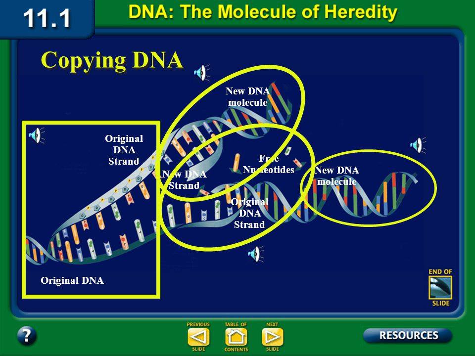 Section 11.1 Summary – pages 281 - 287 DNA is copied during interphase prior to mitosis and meiosis. It is important that the new copies are exactly l