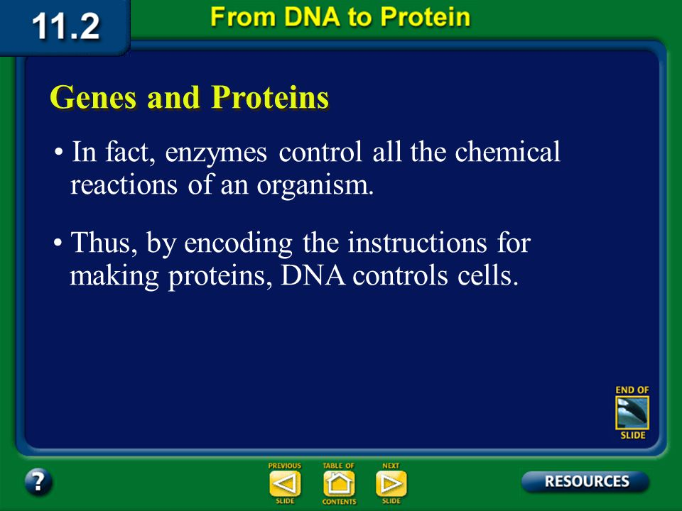 Section 11.2 Summary – pages 288 - 295 Some proteins become important structures, such as the filaments in muscle tissue. Other proteins, such as enzy