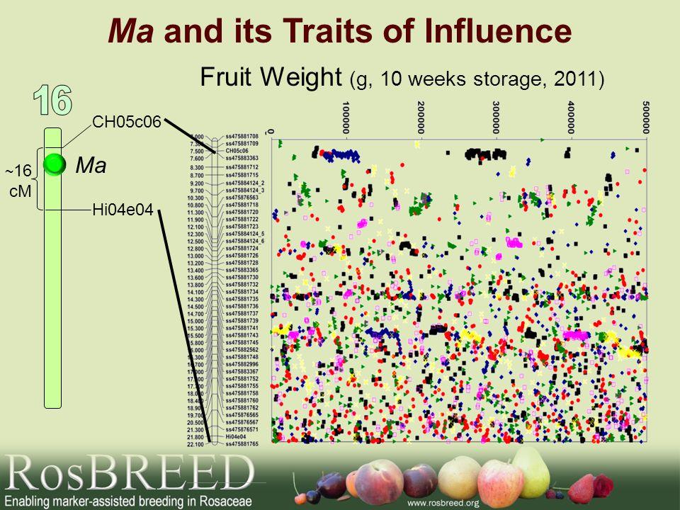 Ma and its Traits of Influence Ma CH05c06 Hi04e04 ~ 16 cM Fruit Weight (g, 10 weeks storage, 2011)
