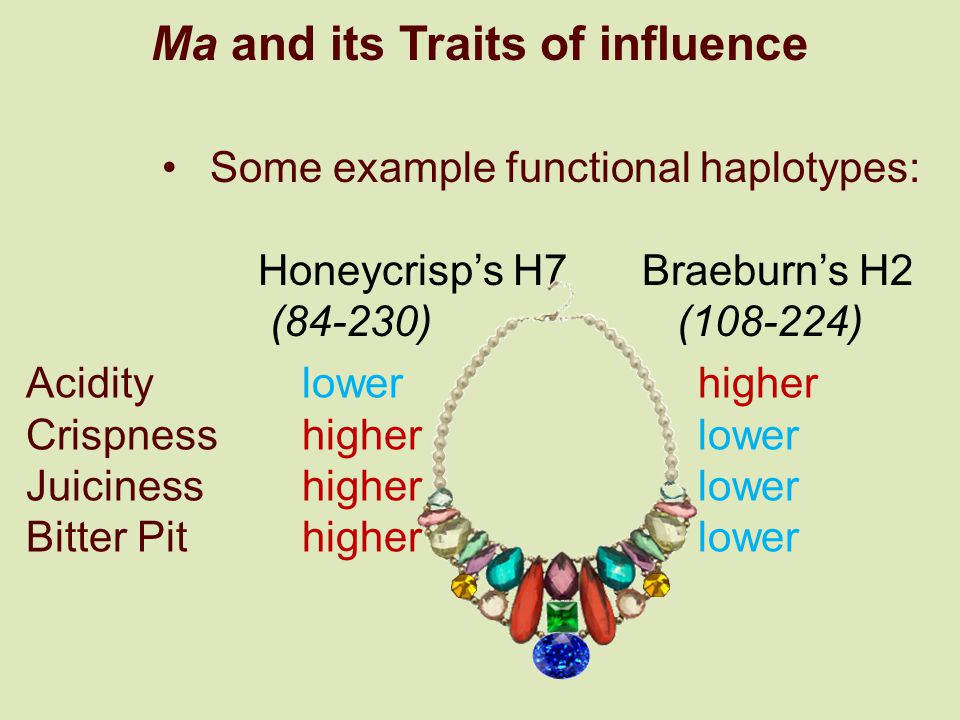 Ma and its Traits of influence Some example functional haplotypes: Honeycrisps H7Braeburns H2 (84-230) (108-224) Acidity lowerhigher Crispness higherl