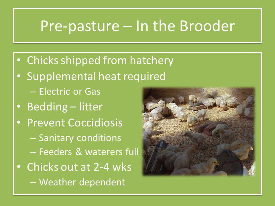 Pre-pasture – In the Brooder Chicks shipped from hatchery Supplemental heat required – Electric or Gas Bedding – litter Prevent Coccidiosis – Sanitary conditions – Feeders & waterers full Chicks out at 2-4 wks – Weather dependent Chicks shipped from hatchery Supplemental heat required – Electric or Gas Bedding – litter Prevent Coccidiosis – Sanitary conditions – Feeders & waterers full Chicks out at 2-4 wks – Weather dependent