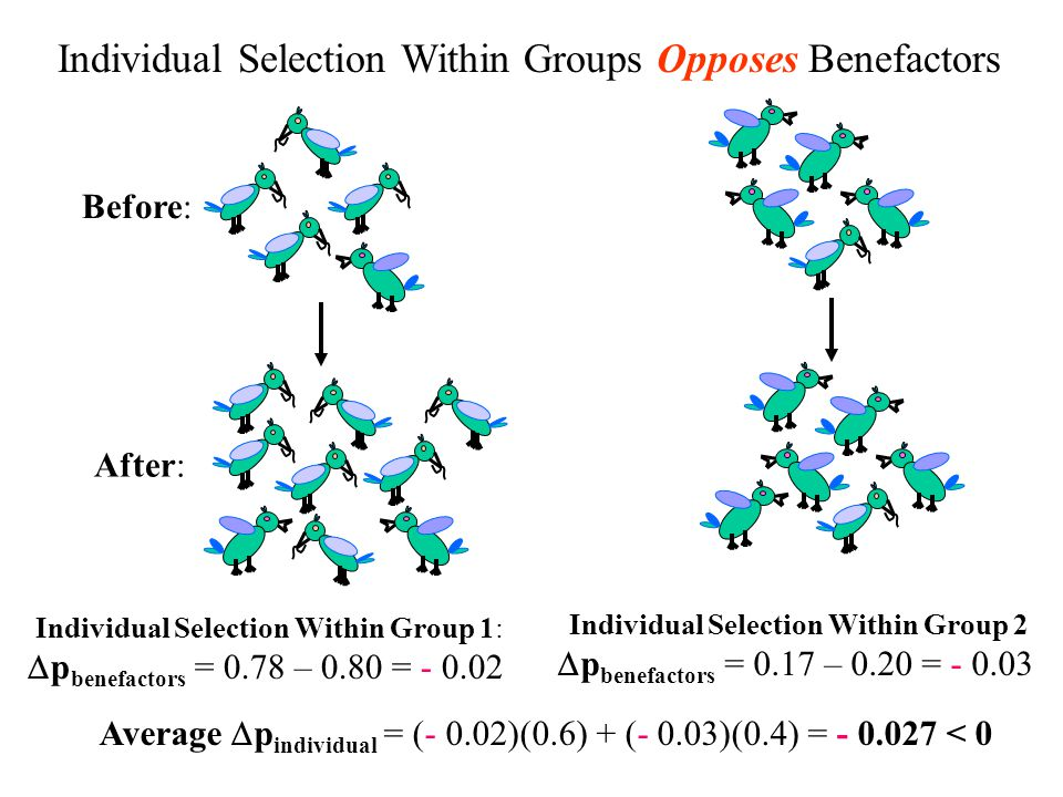 Individual Selection Within Groups Opposes Benefactors Before: After: Individual Selection Within Group 1: p benefactors = 0.78 – 0.80 = - 0.02 Individual Selection Within Group 2 p benefactors = 0.17 – 0.20 = - 0.03 Average p individual = (- 0.02)(0.6) + (- 0.03)(0.4) = - 0.027 < 0