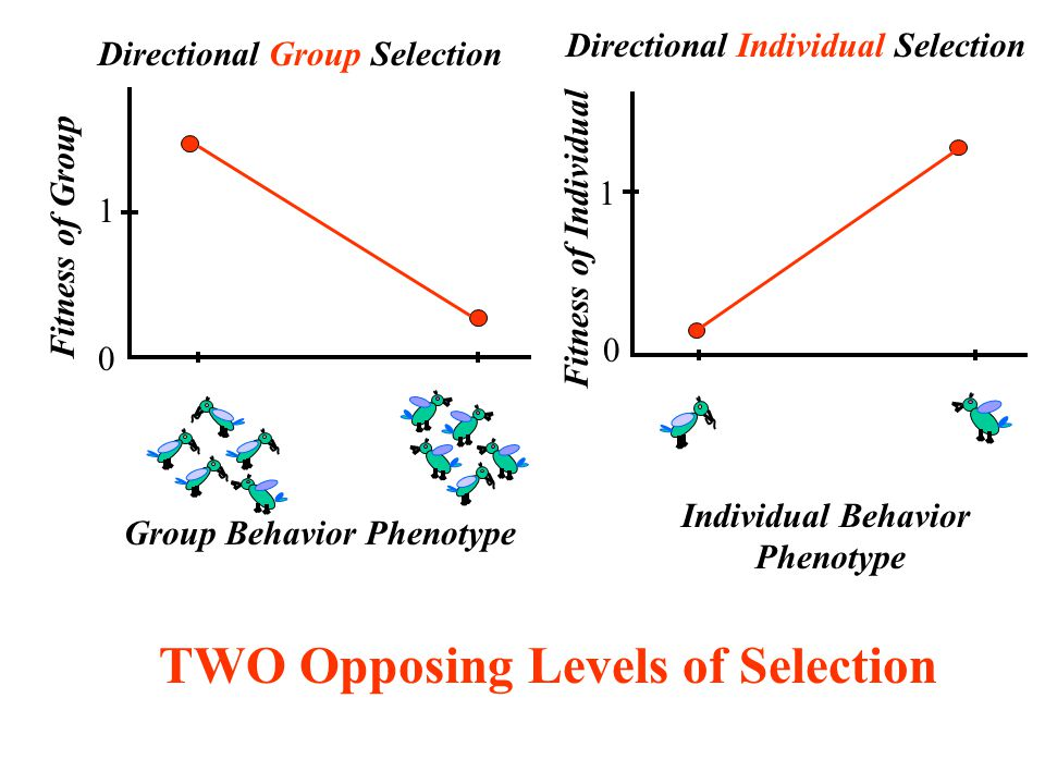 Directional Group Selection Fitness of Group Group Behavior Phenotype 0 1 Directional Individual Selection Fitness of Individual 0 1 Individual Behavior Phenotype TWO Opposing Levels of Selection