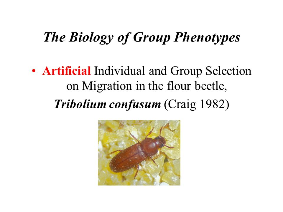 The Biology of Group Phenotypes Artificial Individual and Group Selection on Migration in the flour beetle, Tribolium confusum (Craig 1982)