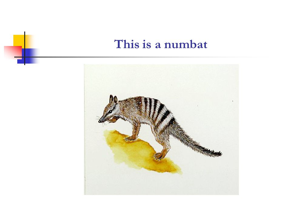TRANSITIVITY ANALYSIS OF THE ENCYCLOPAEDIC REPORT ON THE NUMBAT The numbatisa slender marsupial with … ears Its coatisgrey-brown to reddish brown with about eight transverse white stripes on the rump.