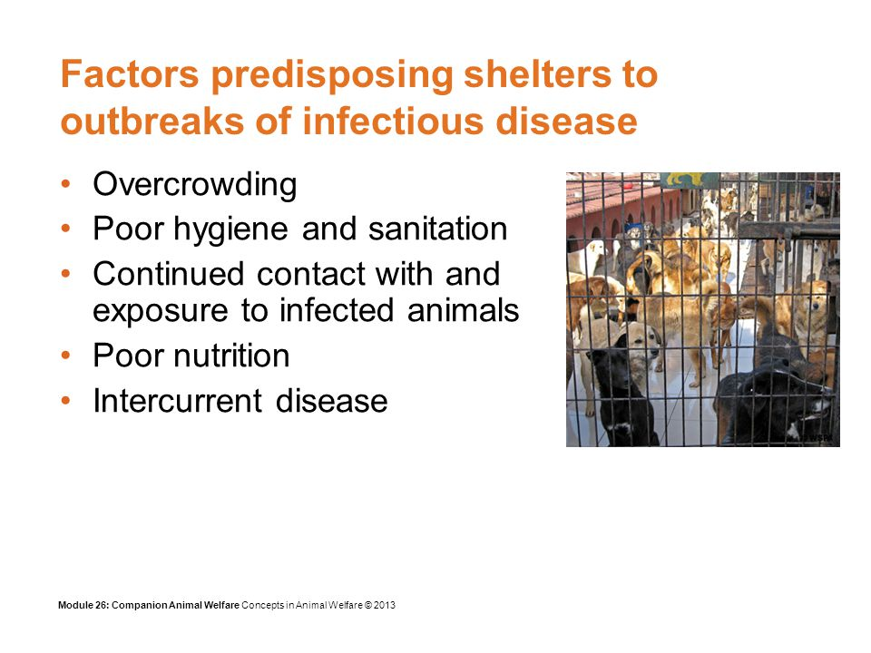 Module 26: Companion Animal Welfare Concepts in Animal Welfare © 2013 Factors predisposing shelters to outbreaks of infectious disease Overcrowding Poor hygiene and sanitation Continued contact with and exposure to infected animals Poor nutrition Intercurrent disease