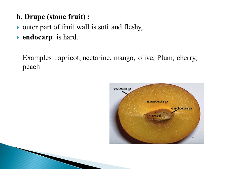 b. Drupe (stone fruit) : outer part of fruit wall is soft and fleshy, endocarp is hard. Examples : apricot, nectarine, mango, olive, Plum, cherry, pea