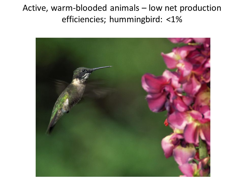 Active, warm-blooded animals – low net production efficiencies; hummingbird: <1%