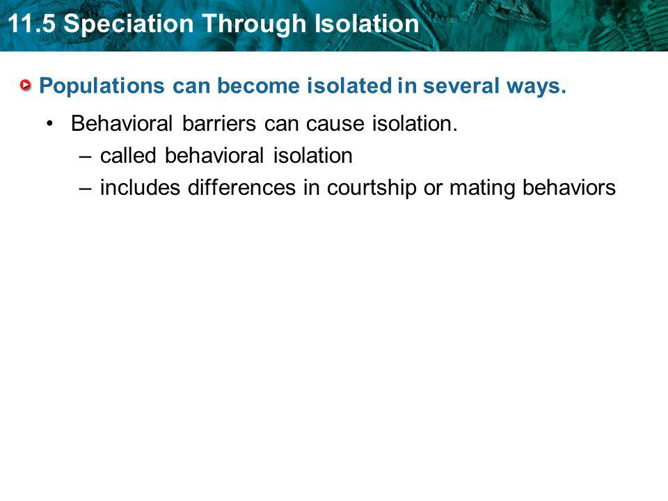 11.5 Speciation Through Isolation Populations can become isolated in several ways. Behavioral barriers can cause isolation. –called behavioral isolati