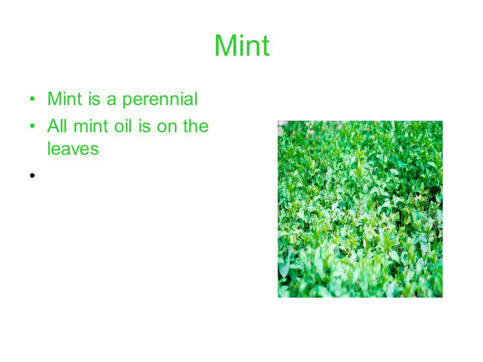 Mint Mint is a perennial All mint oil is on the leaves