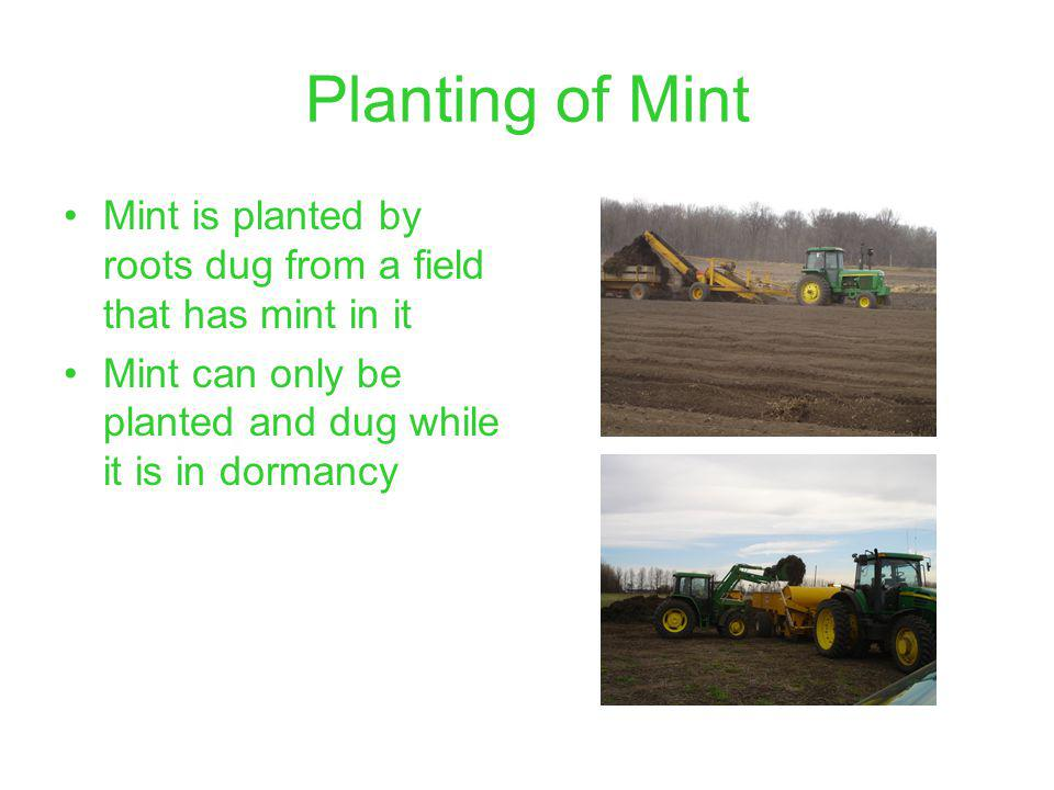 Planting of Mint Mint is planted by roots dug from a field that has mint in it Mint can only be planted and dug while it is in dormancy