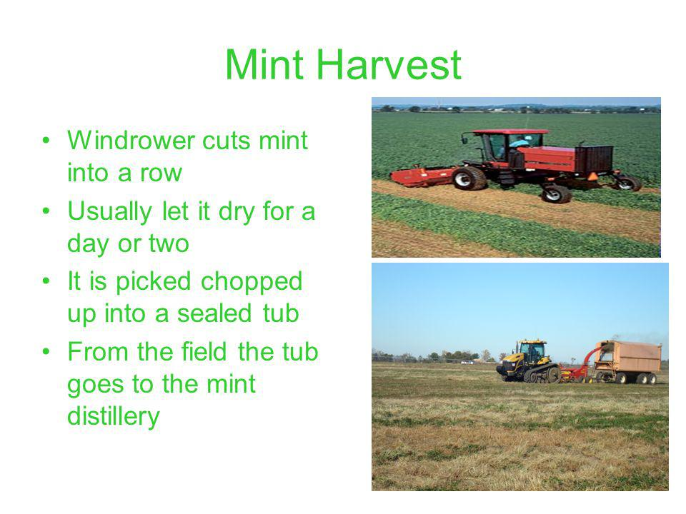 Mint Harvest Windrower cuts mint into a row Usually let it dry for a day or two It is picked chopped up into a sealed tub From the field the tub goes to the mint distillery