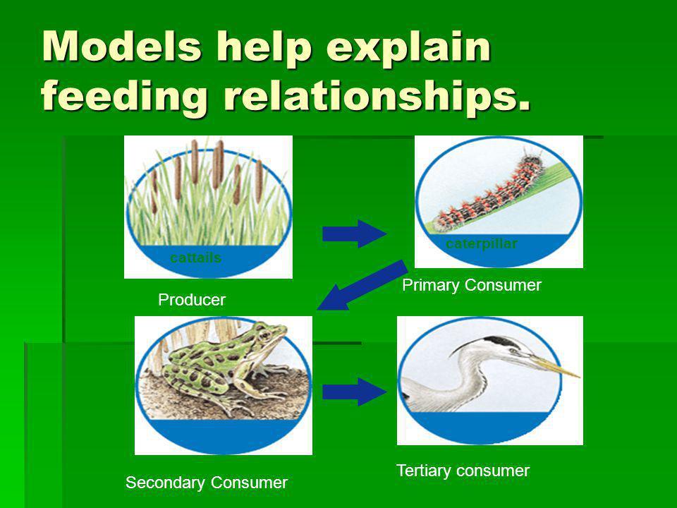 Models help explain feeding relationships. Producer cattails Primary Consumer caterpillar Secondary Consumer frog Tertiary consumer heron