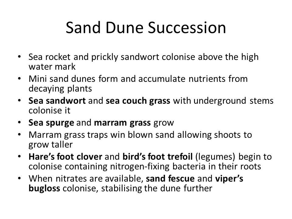 Sand Dune Succession Sea rocket and prickly sandwort colonise above the high water mark Mini sand dunes form and accumulate nutrients from decaying plants Sea sandwort and sea couch grass with underground stems colonise it Sea spurge and marram grass grow Marram grass traps win blown sand allowing shoots to grow taller Hares foot clover and birds foot trefoil (legumes) begin to colonise containing nitrogen-fixing bacteria in their roots When nitrates are available, sand fescue and vipers bugloss colonise, stabilising the dune further