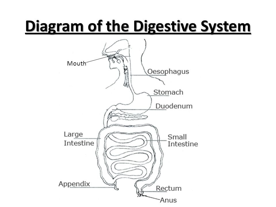 Diagram of the Digestive System Mouth