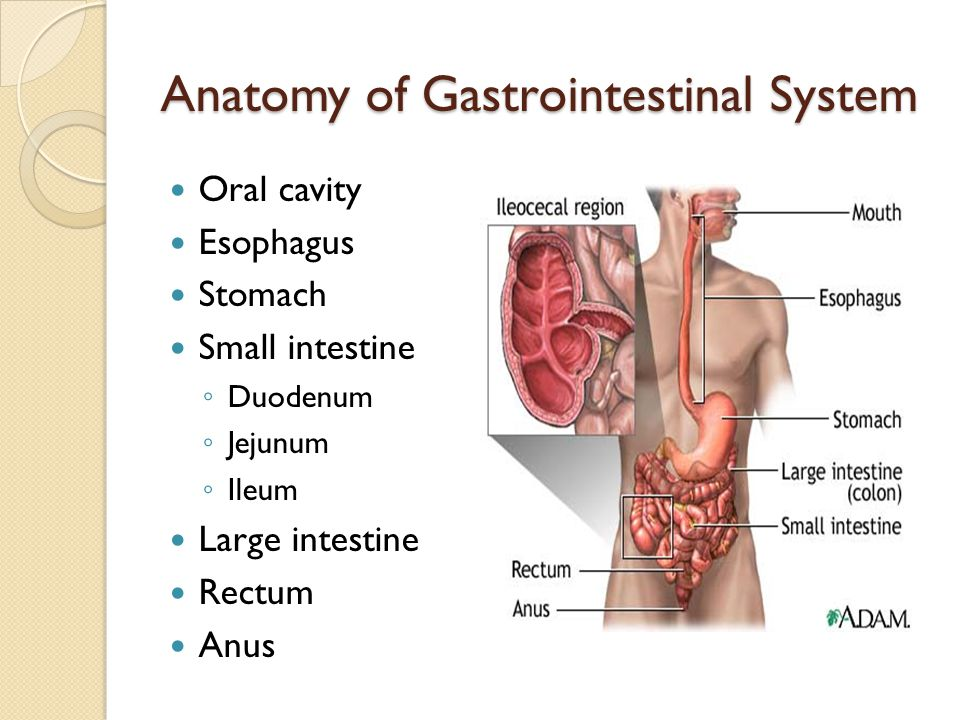 Anatomy of Gastrointestinal System Oral cavity Esophagus Stomach Small intestine Duodenum Jejunum Ileum Large intestine Rectum Anus