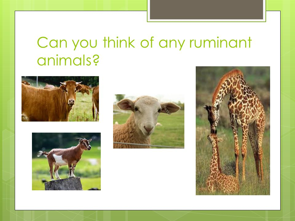 Can you think of any ruminant animals?