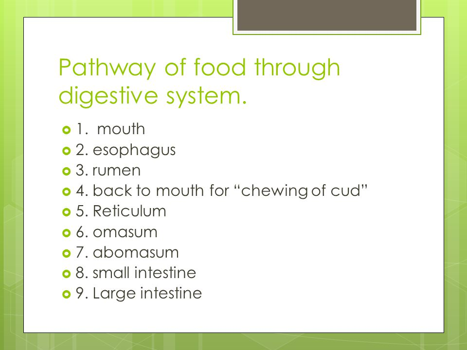 Pathway of food through digestive system. 1. mouth 2. esophagus 3. rumen 4. back to mouth for chewing of cud 5. Reticulum 6. omasum 7. abomasum 8. sma