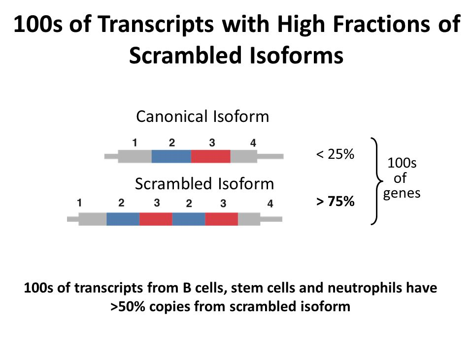 100s of Transcripts with High Fractions of Scrambled Isoforms Canonical Isoform Scrambled Isoform < 25% > 75% 100s of genes 100s of transcripts from B