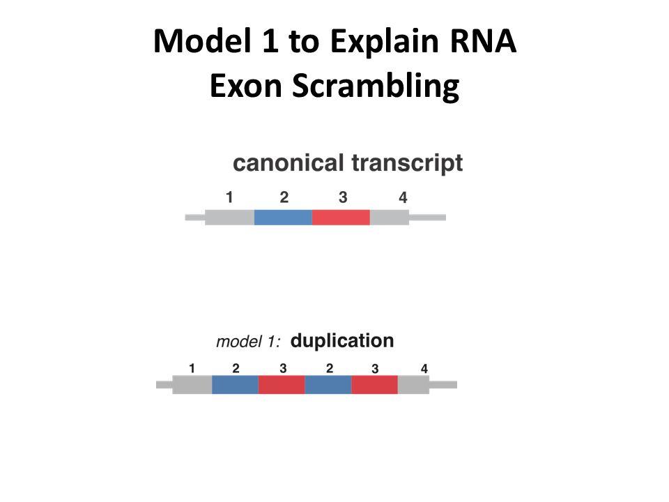 Model 1 to Explain RNA Exon Scrambling