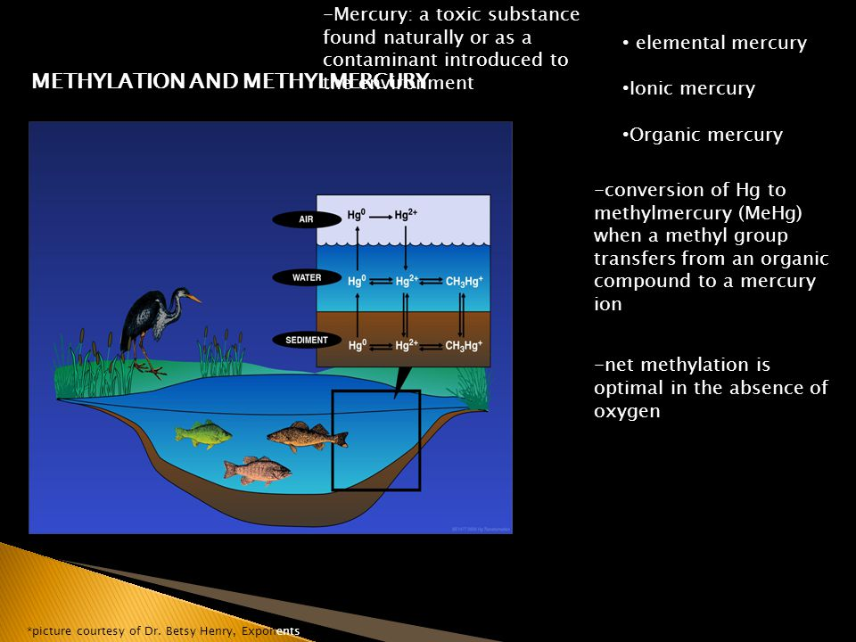 MERCURY & METHYLMERCURY *picture courtesy of Betsy Henry, Exponents -MeHg Bioconcentration Factor: 10 4 to 10 7 -methylmercury: microbially- mediated reactions convert Hg to MeHg, a highly toxic form