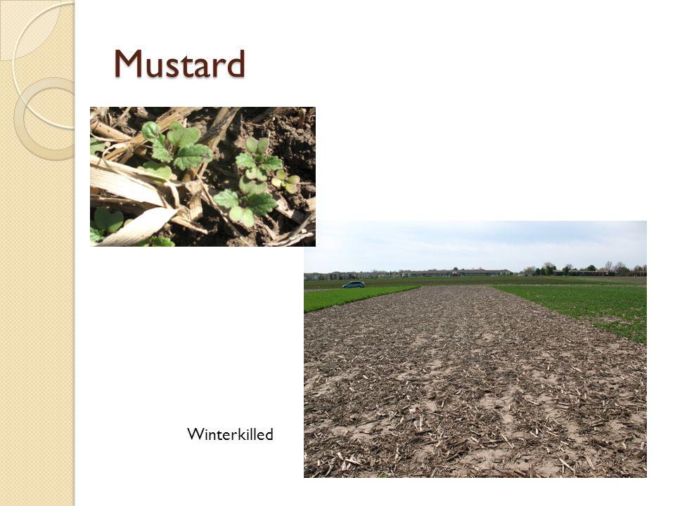Mustard Winterkilled