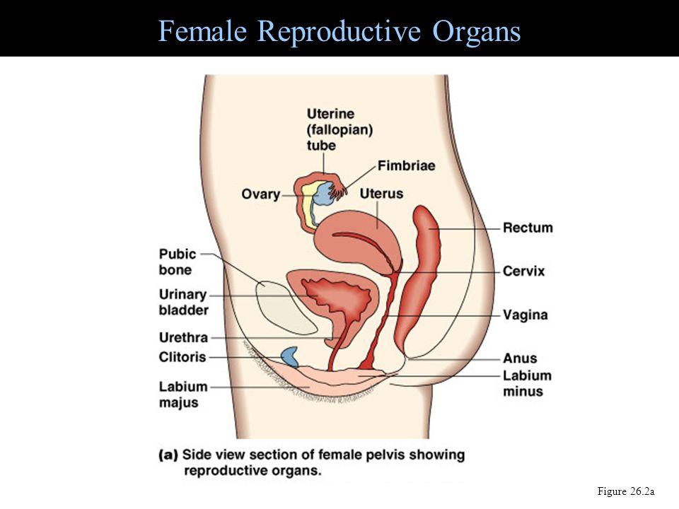 Female Reproductive Organs Figure 26.2a