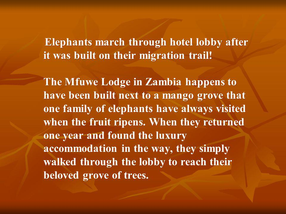 Elephants march through hotel lobby after it was built on their migration trail.