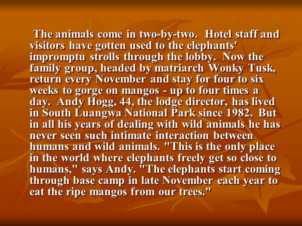 The animals come in two-by-two. Hotel staff and visitors have gotten used to the elephants' impromptu strolls through the lobby. Now the family group,