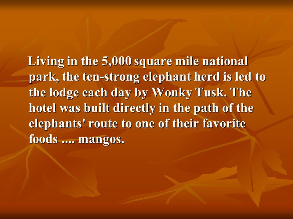 Living in the 5,000 square mile national park, the ten-strong elephant herd is led to the lodge each day by Wonky Tusk.