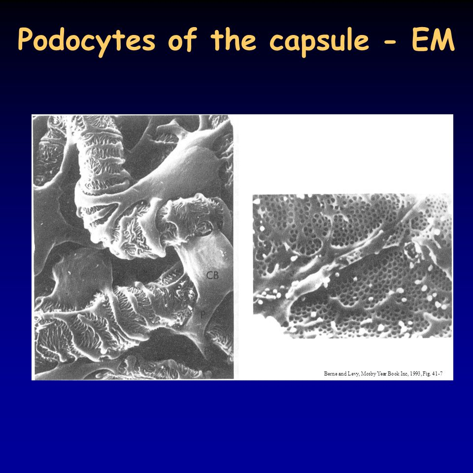 Podocytes of the capsule - EM Berne and Levy, Mosby Year Book Inc, 1993, Fig. 41-7