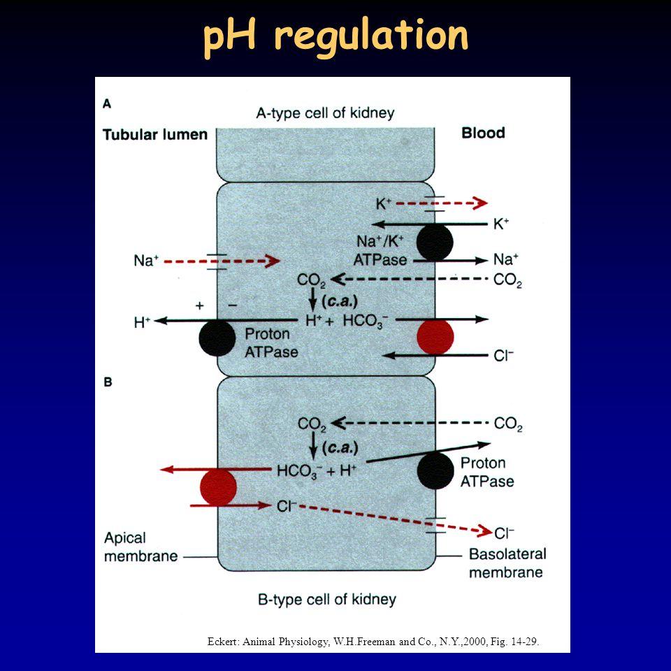 pH regulation Eckert: Animal Physiology, W.H.Freeman and Co., N.Y.,2000, Fig. 14-29.