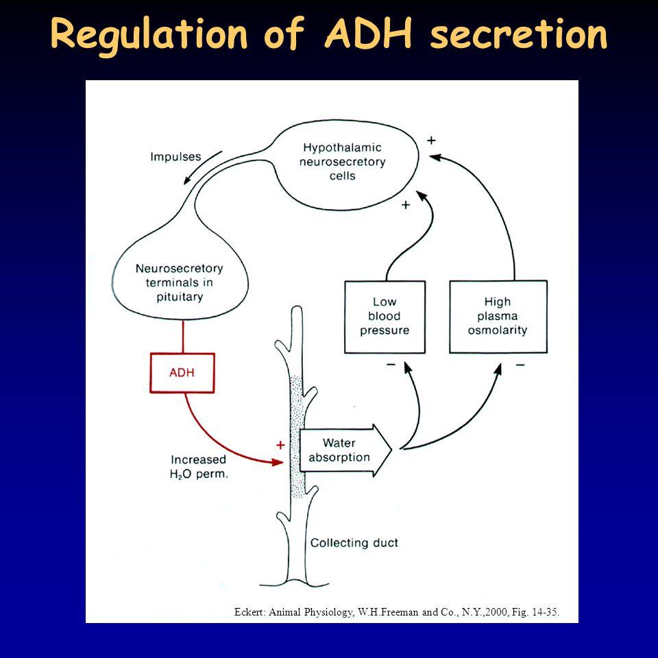 Regulation of ADH secretion Eckert: Animal Physiology, W.H.Freeman and Co., N.Y.,2000, Fig. 14-35.