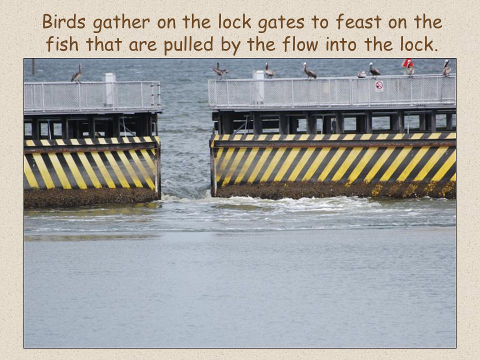 Birds gather on the lock gates to feast on the fish that are pulled by the flow into the lock.