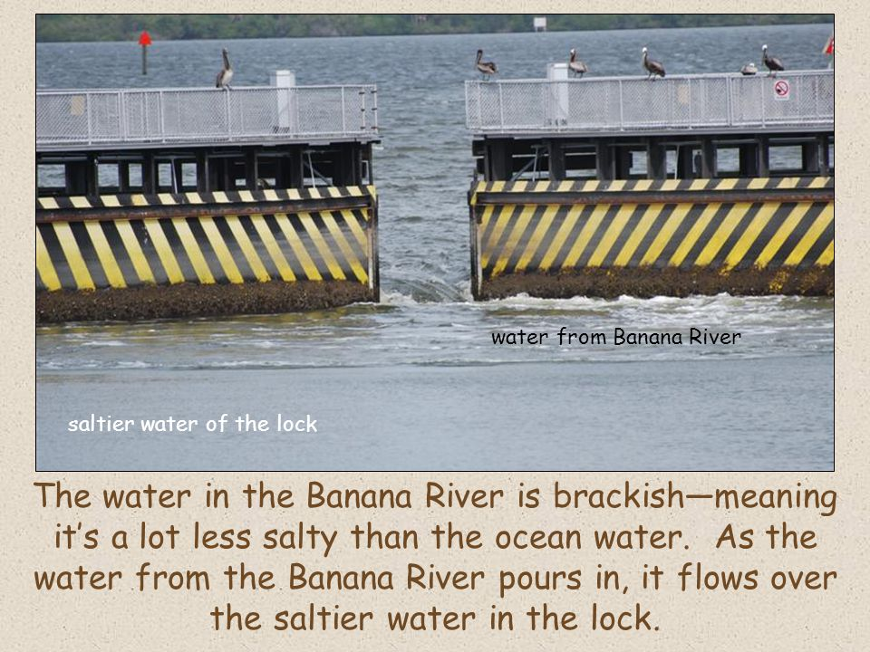 The water in the Banana River is brackishmeaning its a lot less salty than the ocean water.