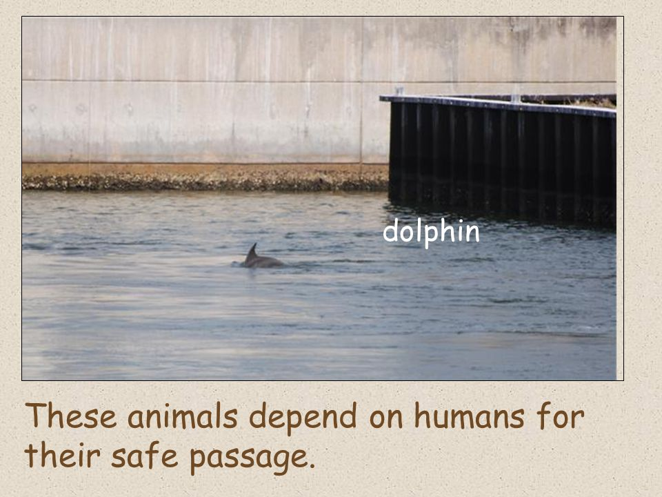 These animals depend on humans for their safe passage. dolphin