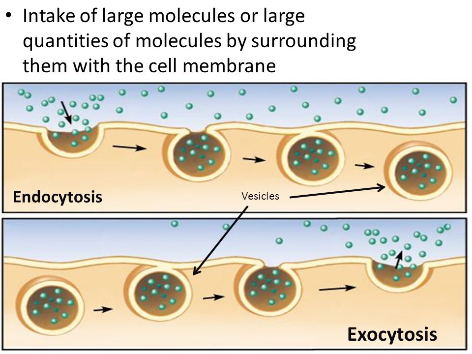 Intake of large molecules or large quantities of molecules by surrounding them with the cell membrane Endocytosis Exocytosis Vesicles