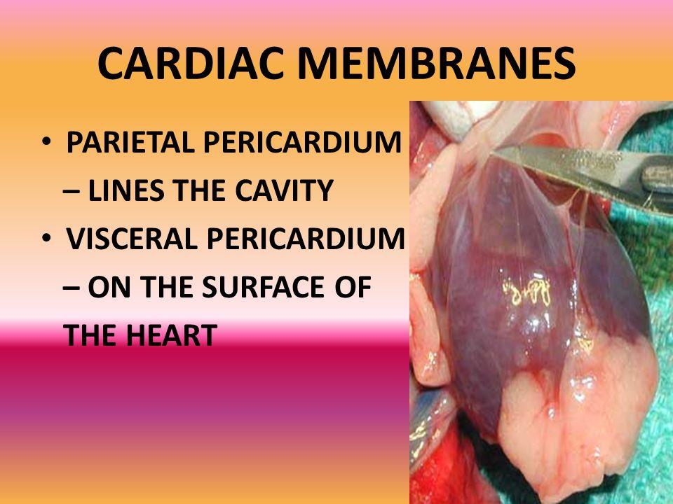CARDIAC MEMBRANES PARIETAL PERICARDIUM – LINES THE CAVITY VISCERAL PERICARDIUM – ON THE SURFACE OF THE HEART