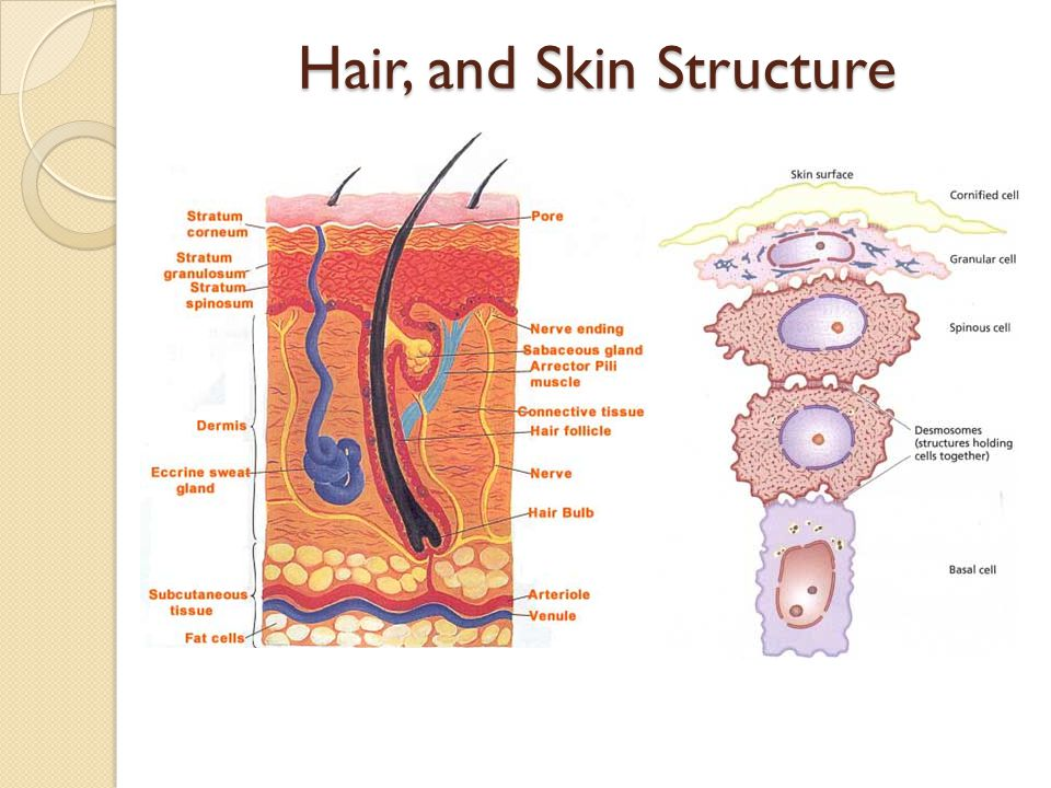 Hair, and Skin Structure