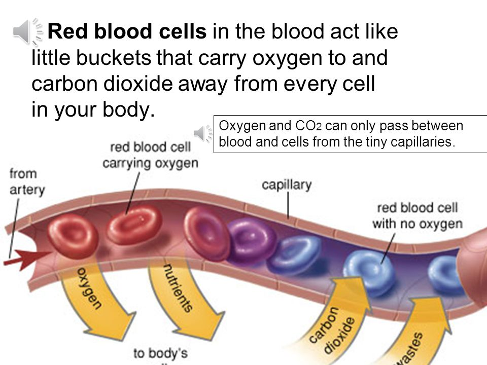 Capillary walls are so thin that oxygen and carbon dioxide (CO 2 ) can pass right through them in and out of the bodys cells. cell