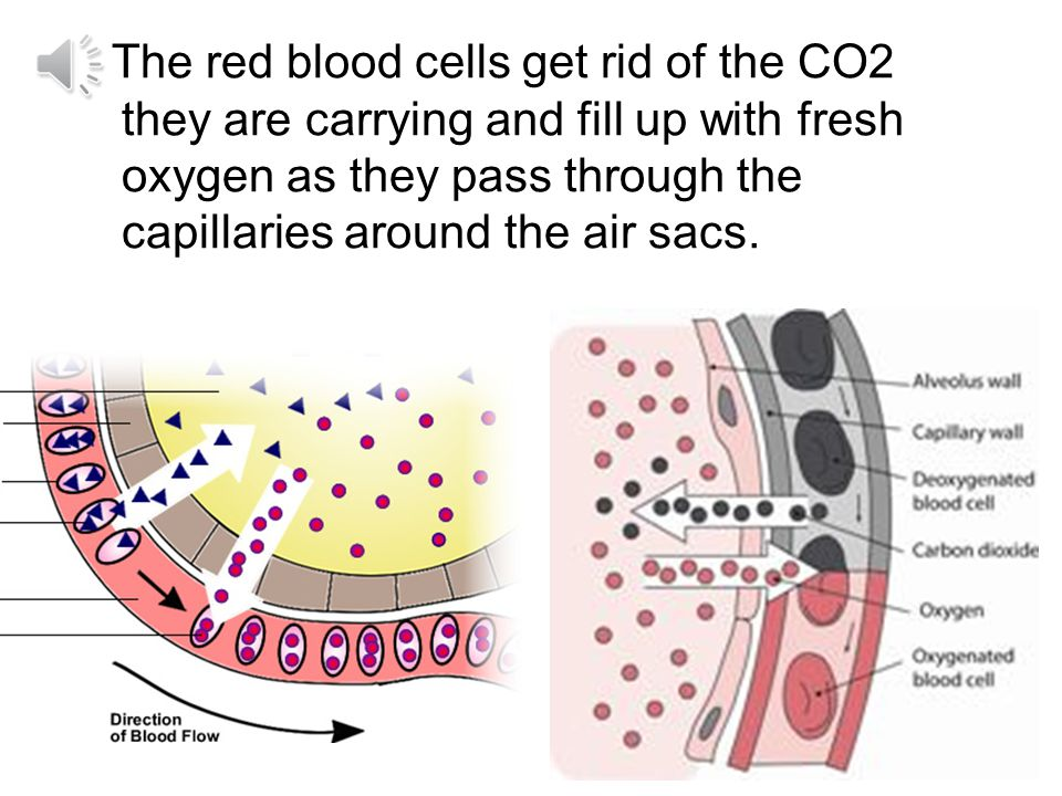 Air sacs are so thin that oxygen and CO 2 can pass right through them to go in and out of the capillaries.