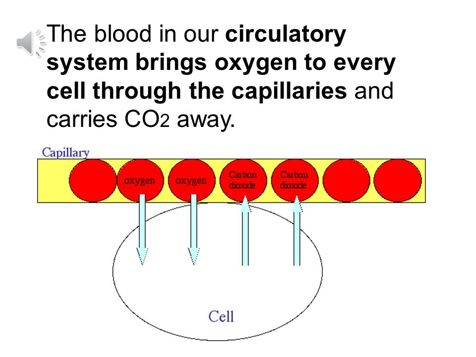/ / Every cell in your body lives right next to a tiny blood vessel (tube) called a capillary.