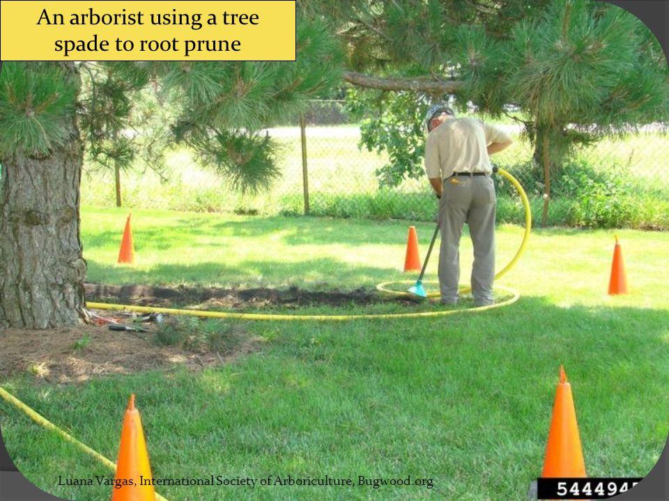 air excavator () Luana Vargas, International Society of Arboriculture, Bugwood.org An arborist using a tree spade to root prune
