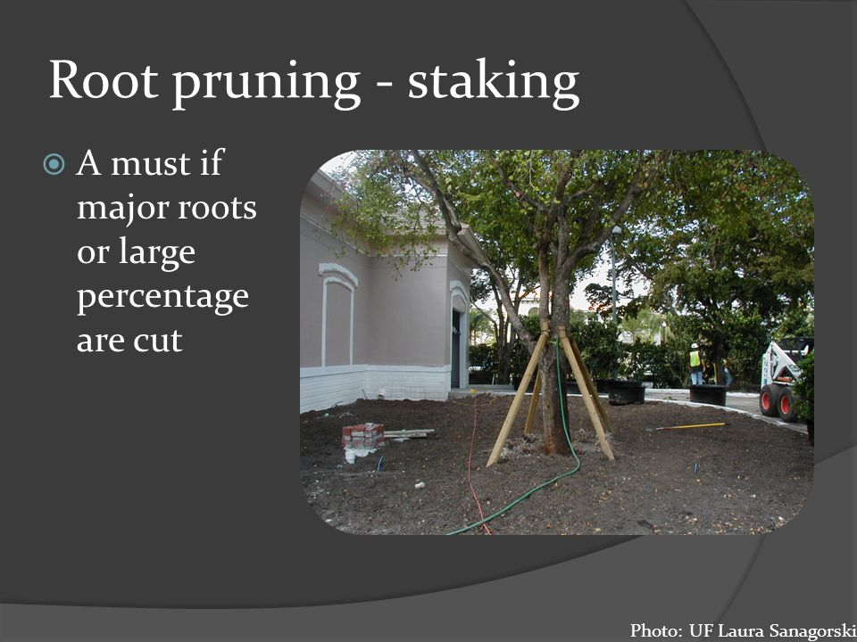 Root pruning - staking A must if major roots or large percentage are cut Photo: UF Laura Sanagorski